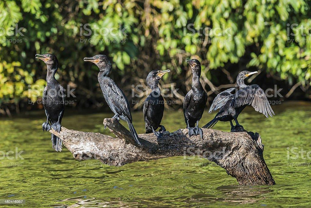cormorants standing branch peruvian Amazon jungle Madre de Dios Peru stock photo