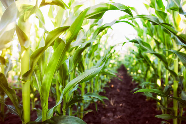 corn agriculture. green nature - crop stock pictures, royalty-free photos & images
