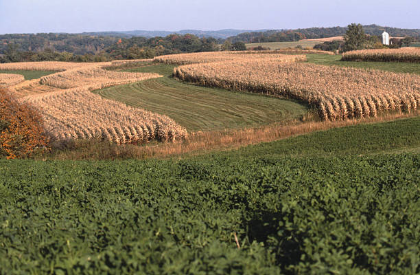 Corn and alfalfa intercropped in Wisconsin stock photo