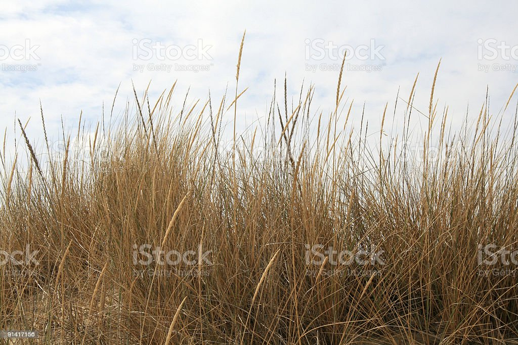 Corn and grass royalty-free stock photo