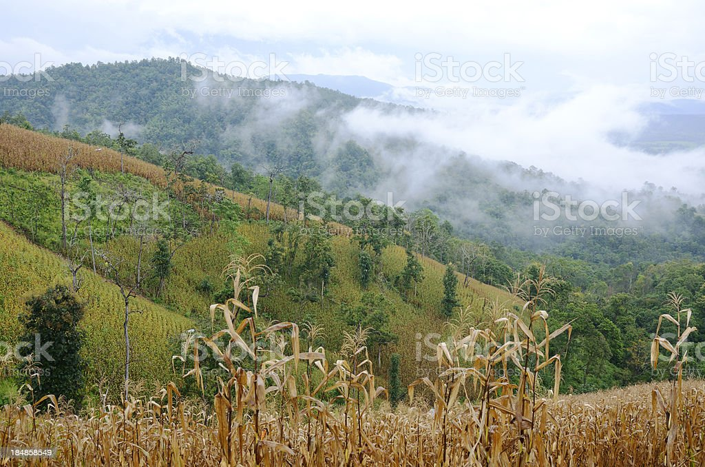 Corn and rice fields in the fog royalty-free stock photo