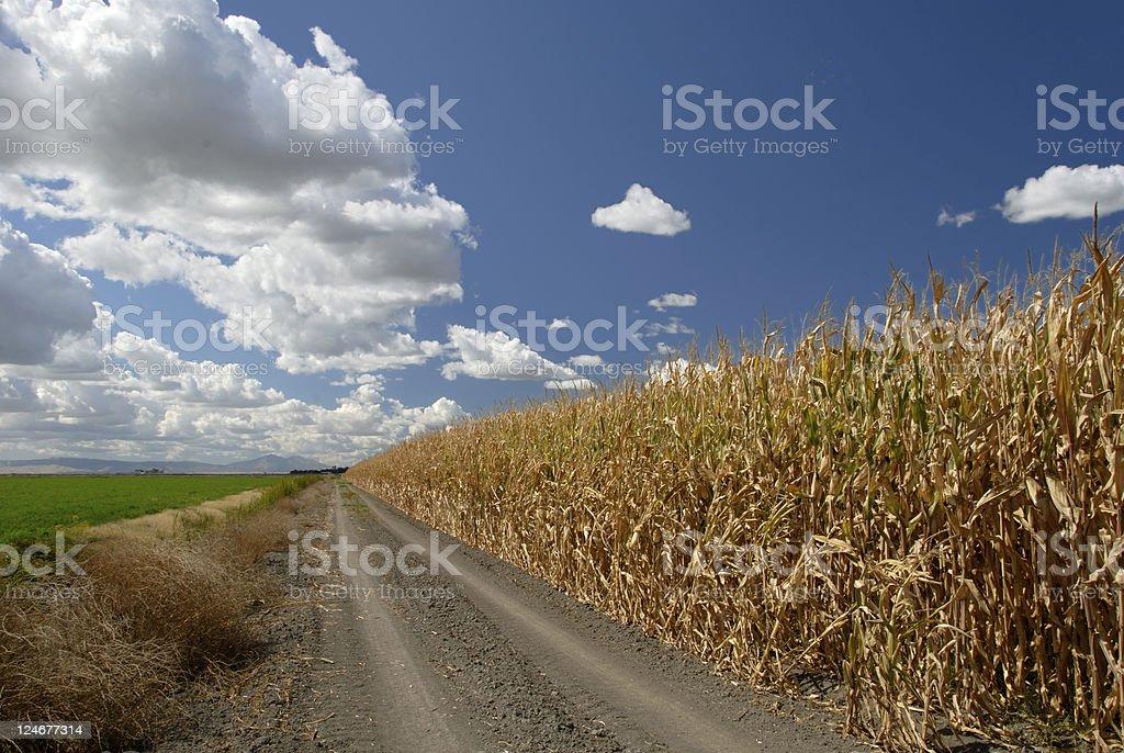 Corn And Skies stock photo