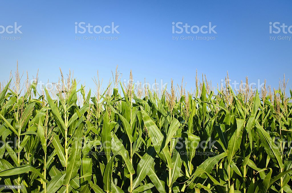 Corn and Sky stock photo