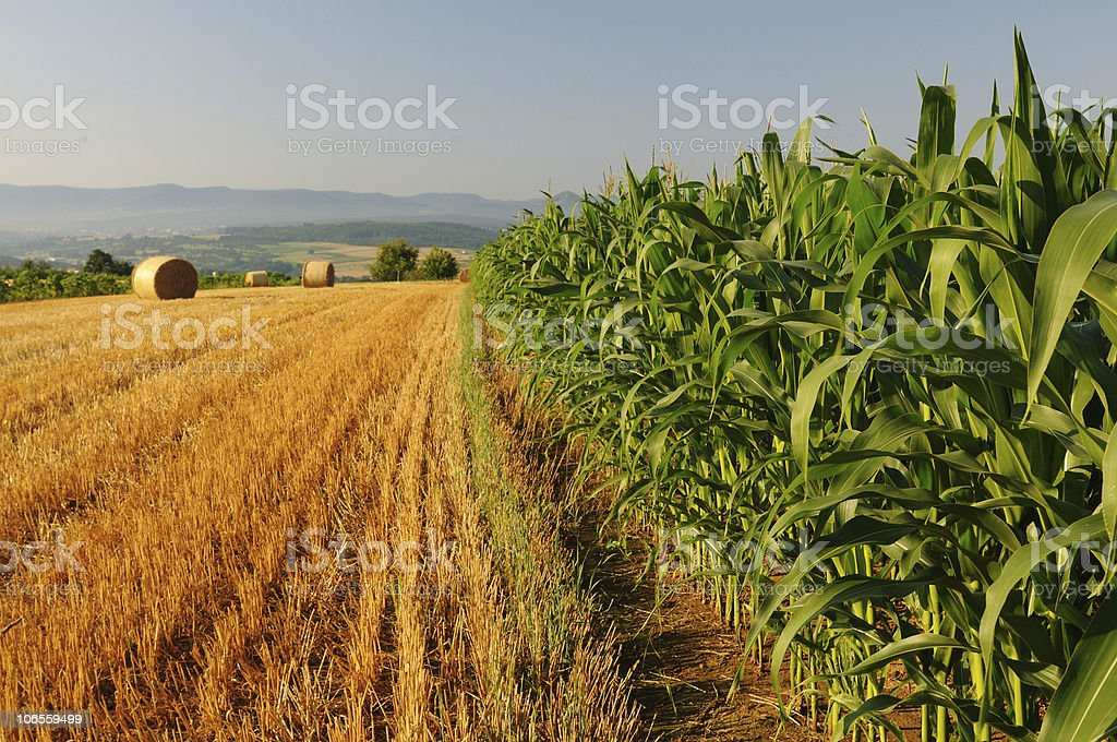 Corn and Wheat Fields royalty-free stock photo