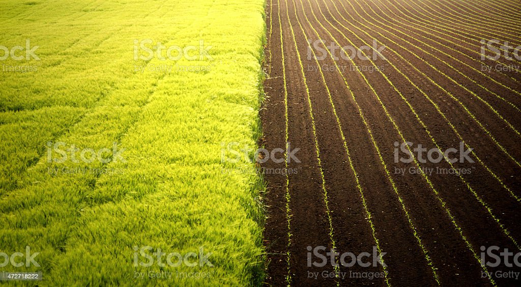 Corn and wheat fields. stock photo