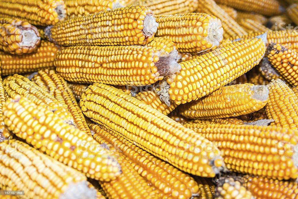 Corn background stock photo