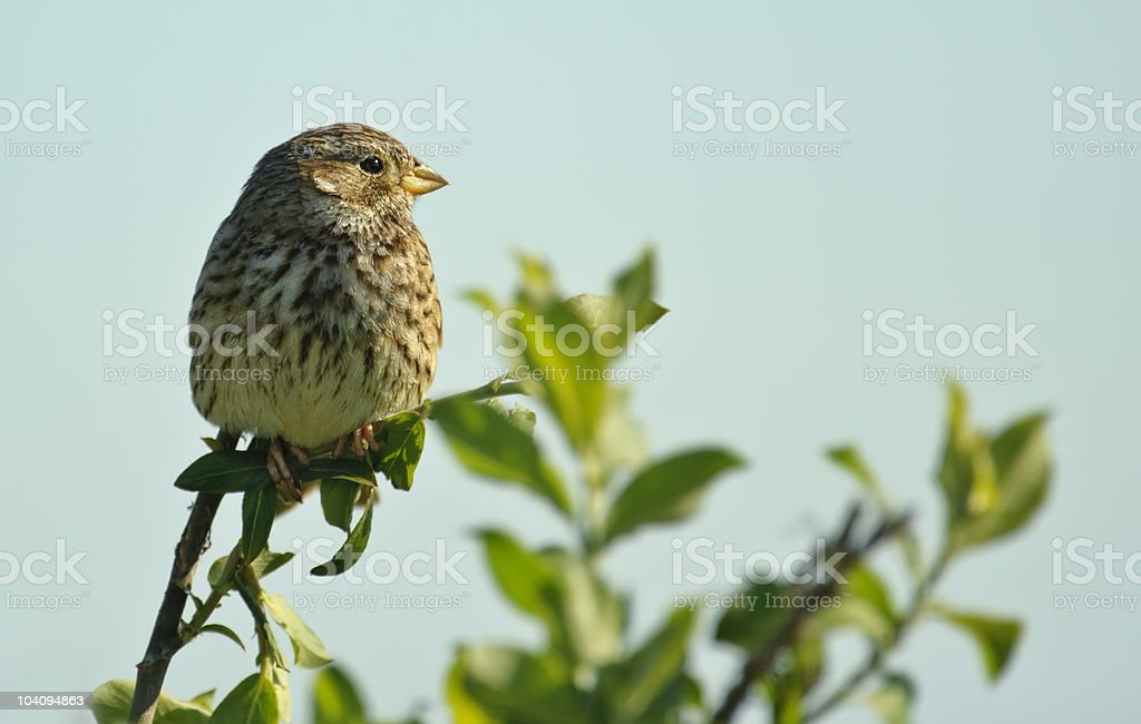 Corn Bunting looking right royalty-free stock photo