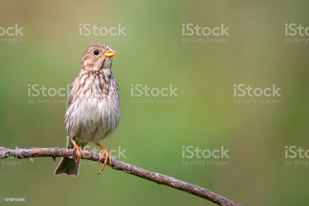 Corn Bunting ( Miliaria calandra ) sitting on a stick on a beautiful background stock photo