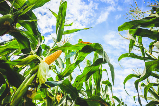 corn cob growth in agriculture field outdoor with clouds and blue sky - milho imagens e fotografias de stock