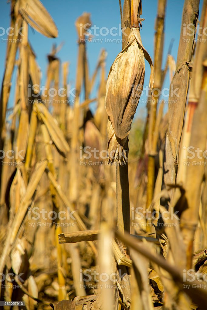 Corn cob in a milpa at sunset stock photo