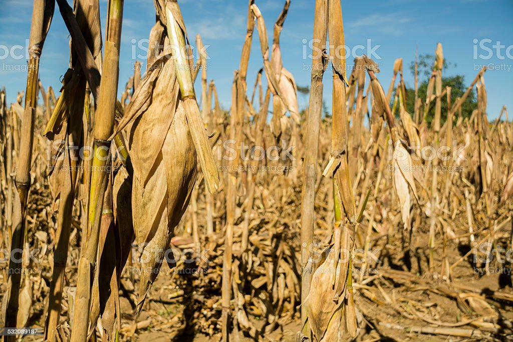 Corn cob in a small cornfield at sunset stock photo
