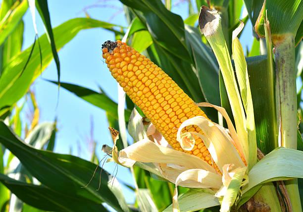 Corn Cob in the Corn Field – Foto