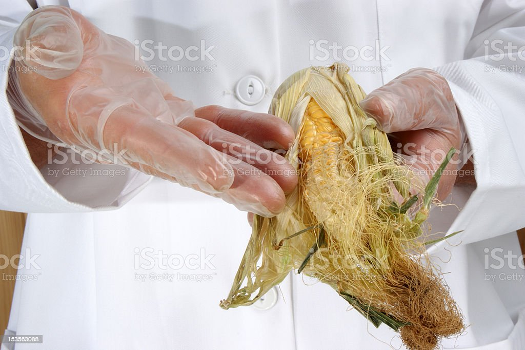 corn cob is being investigated in the food laboratory royalty-free stock photo