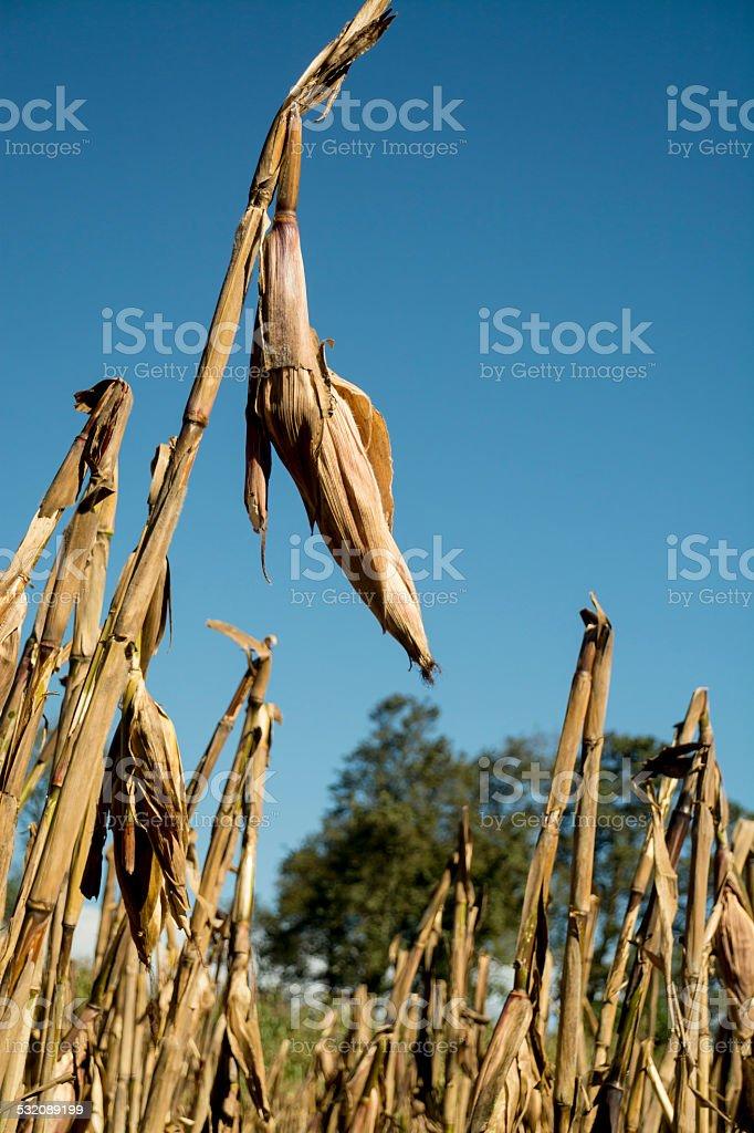 Corn cob isolated in a cornfield stock photo