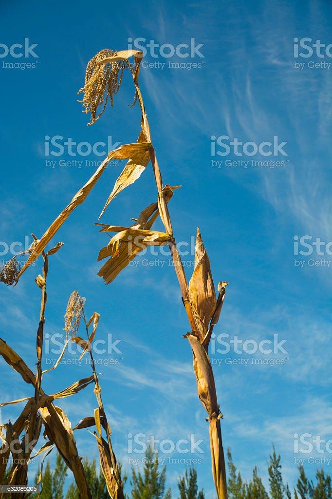 Corn cob on the plant stock photo