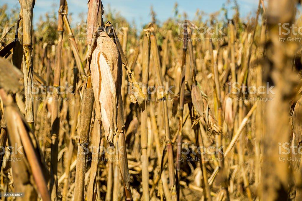 Corn cob ready for harvest stock photo