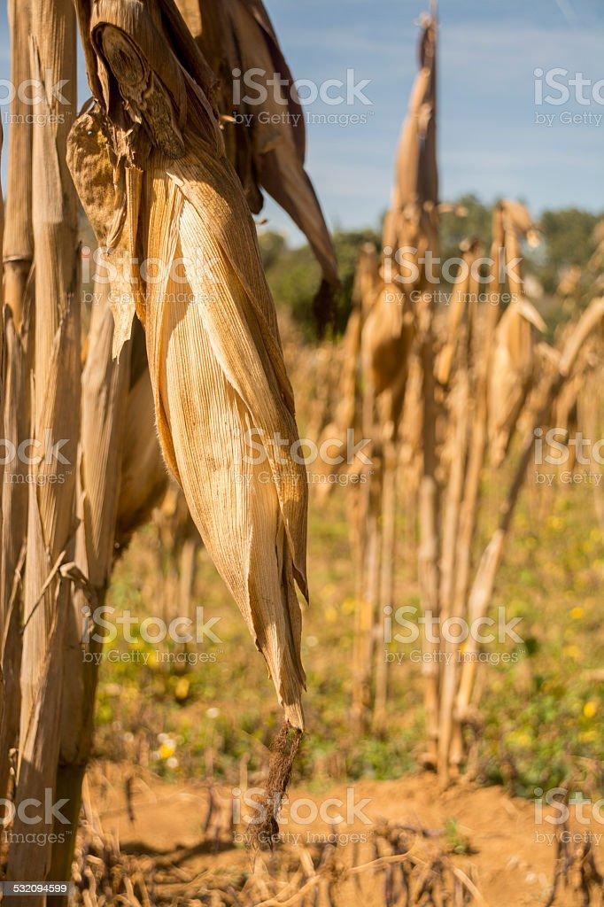 Corn Cob Spotlight stock photo