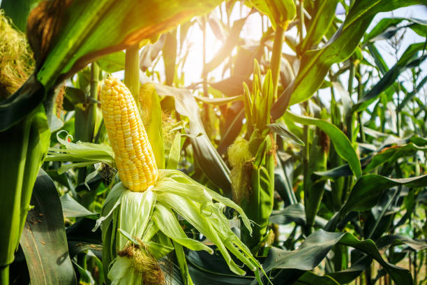 Corn cob with green leaves growth in agriculture field outdoor Corn cob with green leaves growth in agriculture field outdoor crop plant stock pictures, royalty-free photos & images