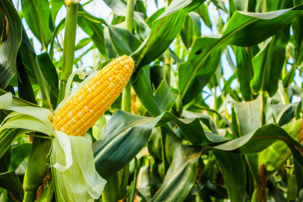 corn cob with green leaves growth in agriculture field outdoor - milho imagens e fotografias de stock