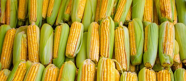 Espigas de milho agrupadas e padronizadas para banners e outdoor