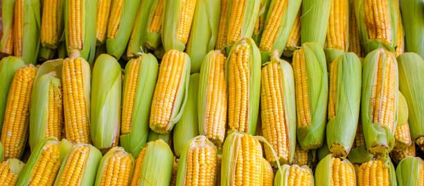 corn cobs grouped on fair stall - milho imagens e fotografias de stock