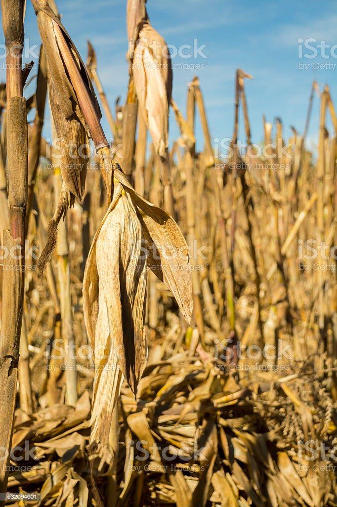 Corn cobs in a Milpa stock photo