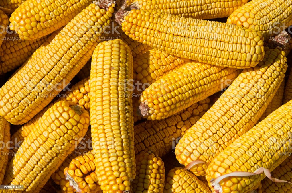 Corn cobs. Maize seed. stock photo