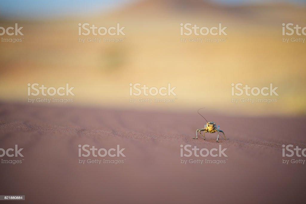 Corn Cricket walking on desert sand stock photo