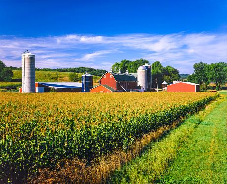 Corn crop fill the foreground leading back to a typical Iowa farm at harvest time, Dubuque Iowa