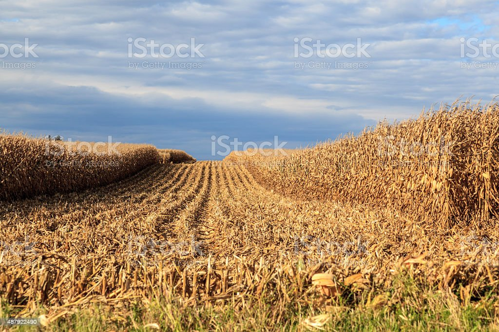Corn crop being harvested by a combine stock photo