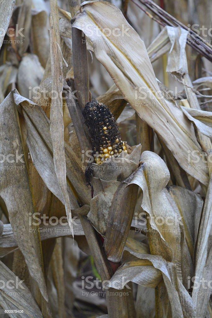 Milho destruídas pela seca foto de stock royalty-free