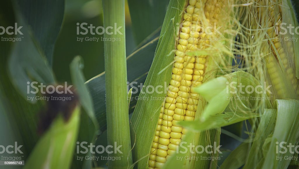 corn (maize) crop stock photo