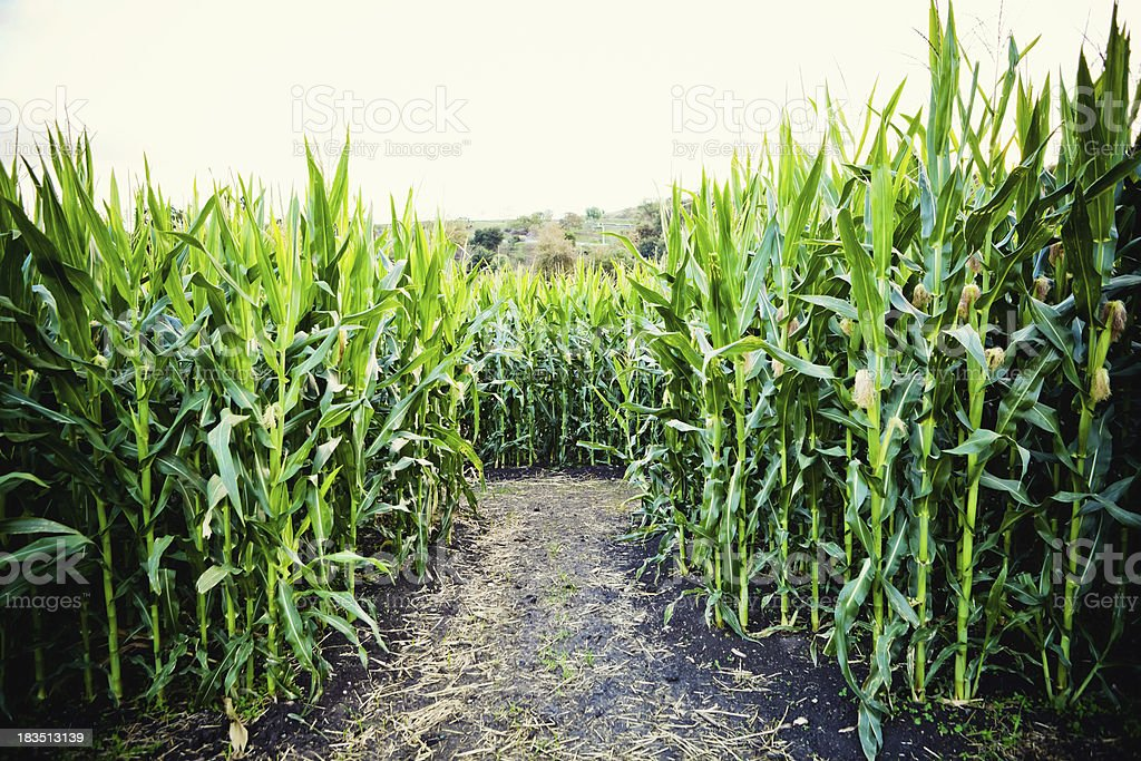 corn crop with dirt path royalty-free stock photo