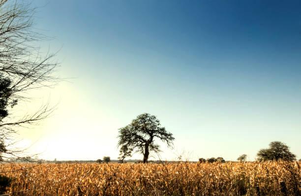 Corn crops at the Humid Pampa, Córdoba, Argentina. stock photo