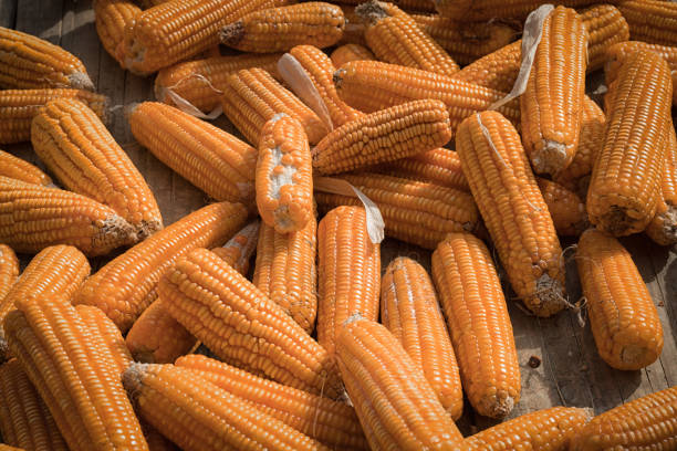 Corn drying in sun stock photo