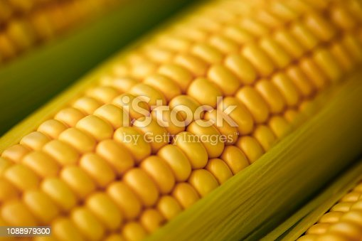 Fresh corn on cob in high resolution
