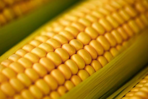 corn ear close up brazil - milho imagens e fotografias de stock
