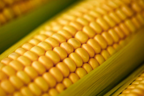 Corn ear close up Brazil Fresh corn on cob in high resolution sweetcorn stock pictures, royalty-free photos & images