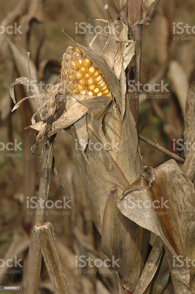 De maíz oídos foto de stock libre de derechos