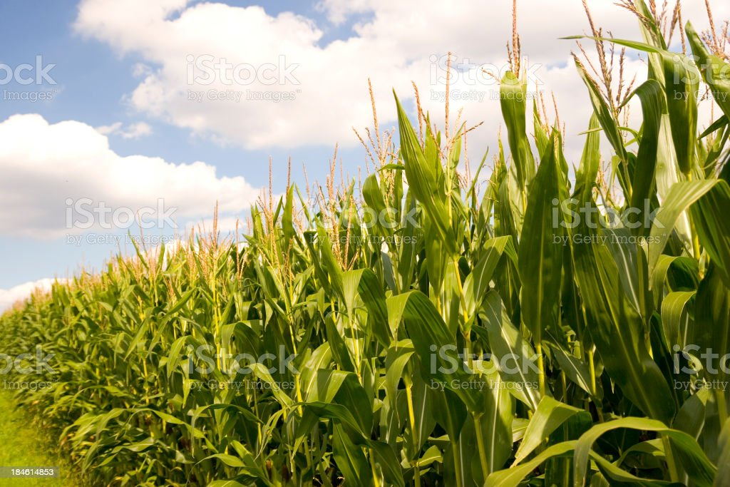 Corn Field Against Blue Cloudy Sky stock photo