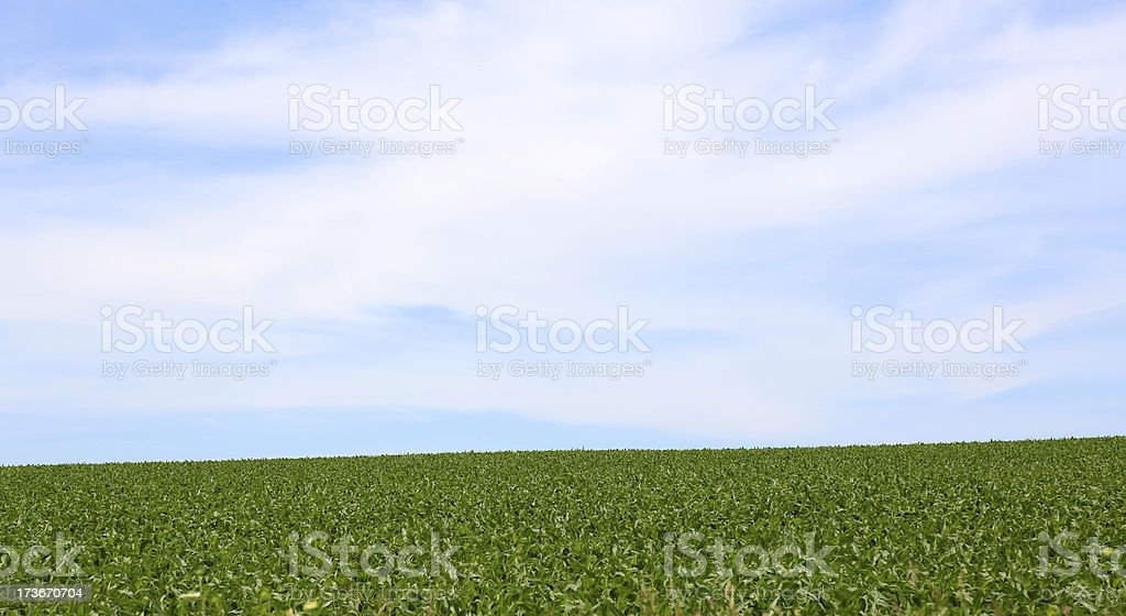 Corn field against blue sky royalty-free stock photo