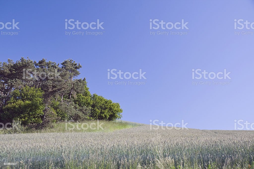 Corn Field Against The Blue Sky royalty-free stock photo