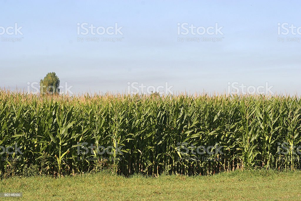 corn field and blue skies royalty-free stock photo