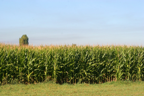 Corn Field And Blue Skies Stock Photo - Download Image Now