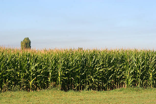 corn field and blue skies stock photo