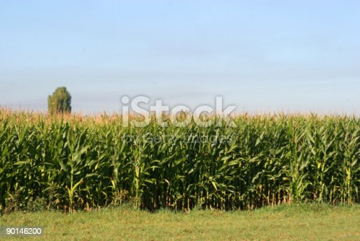 Corn Field And Blue Skies Stock Photo & More Pictures of Agricultural Field
