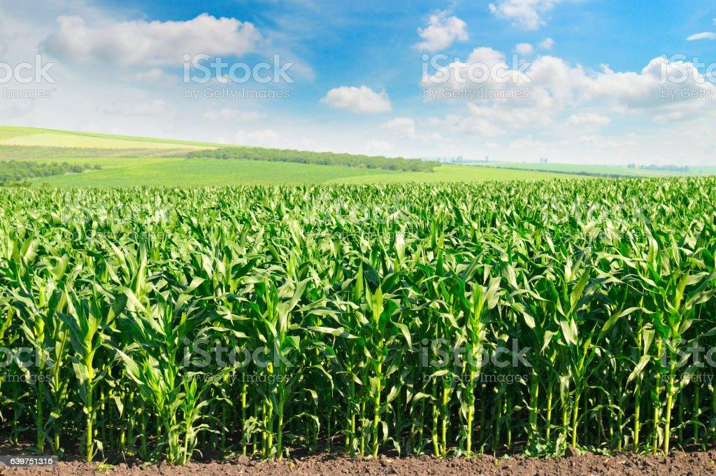 corn field y cielo azul - foto de stock
