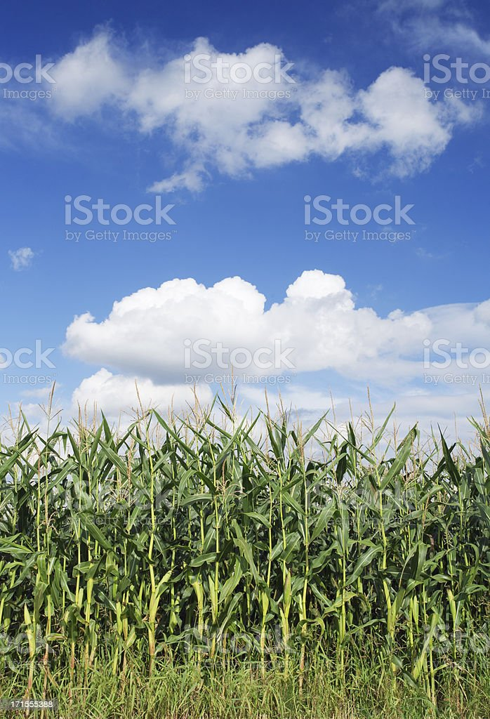 corn field and cumulus clouds royalty-free stock photo
