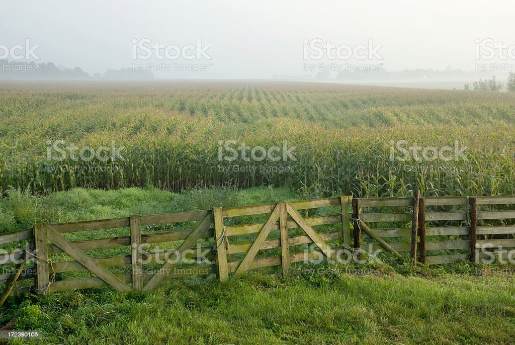 Corn Field and Fence royalty-free stock photo