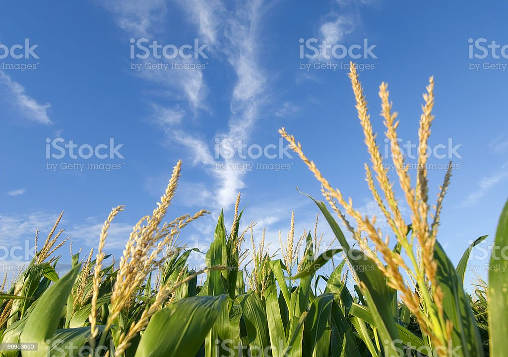 Corn field and nice clouds royalty-free stock photo